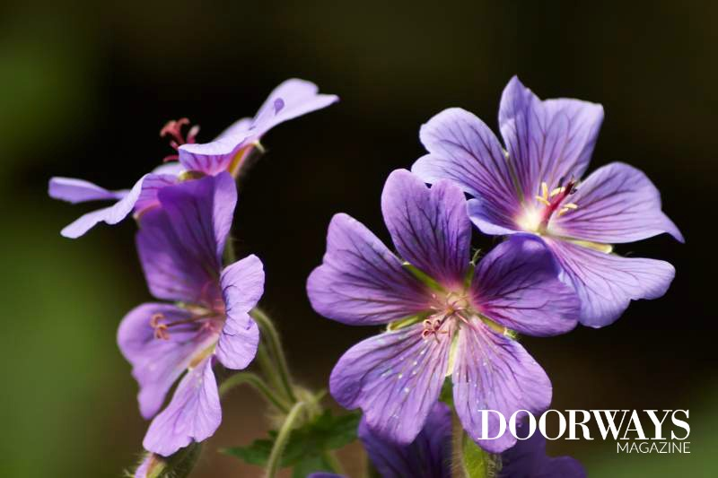 Geranium Essential Oil: A Complete Guide to Uses and Benefits