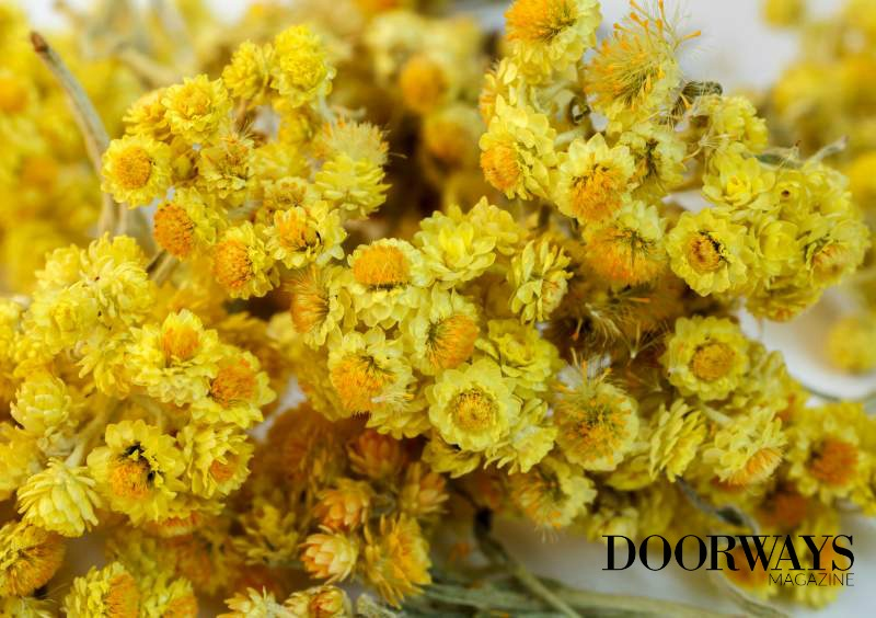 Benefits of Helichrysum Essential Oil in Treating Scars and Sports Injuries