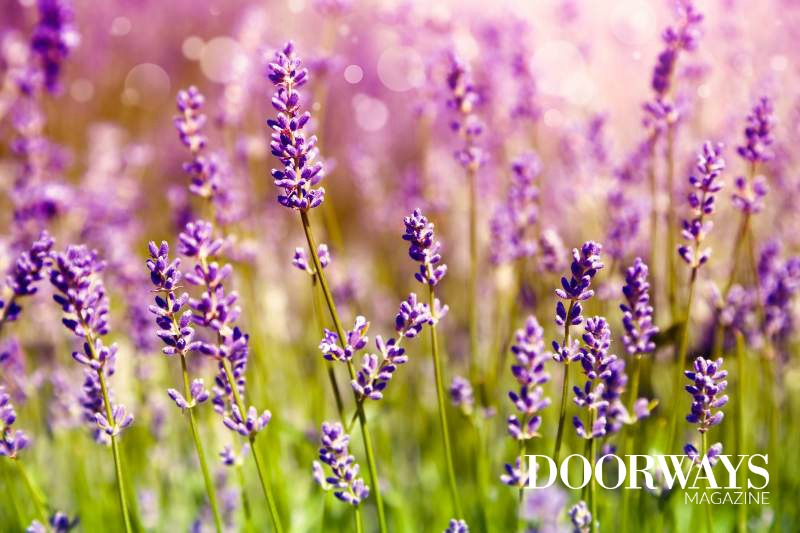 Lavender Oil Uses and Benefits: A Complete Guide